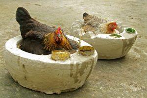 Hazals with hens